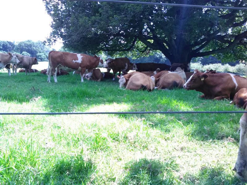鎮座する牛
