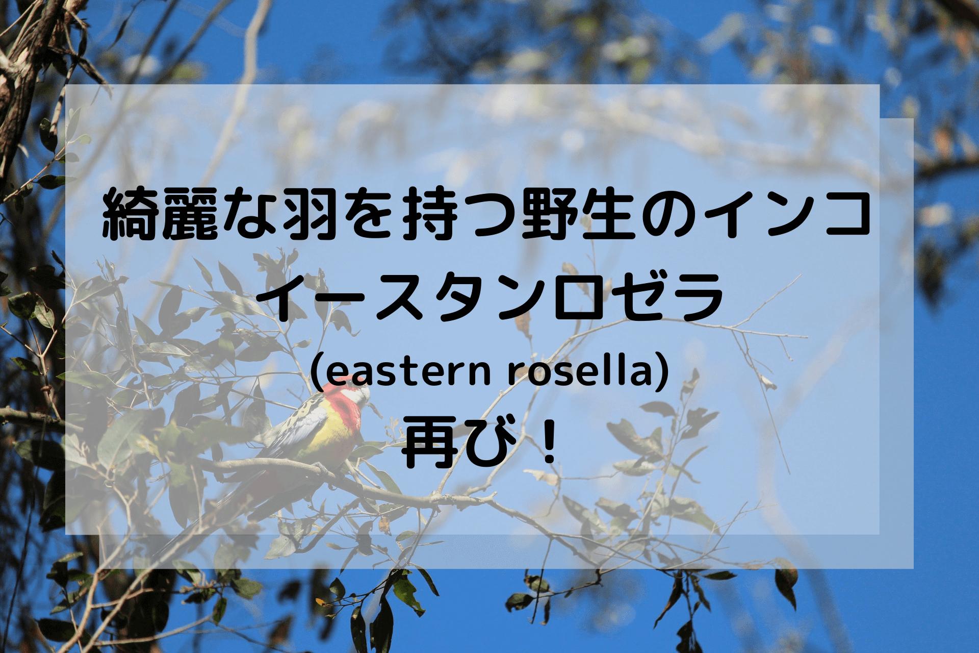 綺麗な羽を持つ野生のインコ、イースタンロゼラ(eastern rosella)再び!